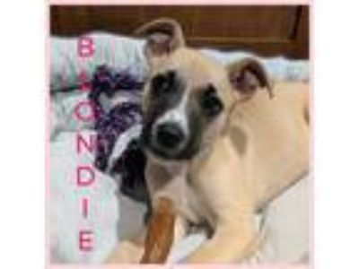 Adopt Blondie a Tan/Yellow/Fawn - with Black Boxer / Mixed dog in Berkley