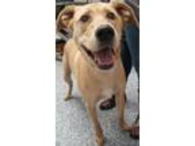 Adopt Dylan a Whippet / Labrador Retriever / Mixed dog in Angola, IN (25349175)