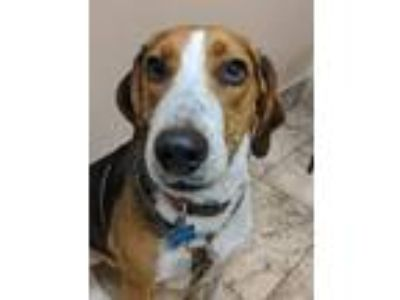 Adopt Gordy a Black - with Brown, Red, Golden, Orange or Chestnut Hound (Unknown