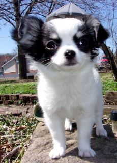 Hadley Female Chihuahua Puppy