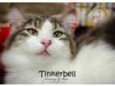 Adopt Tinkerbell a White Domestic Longhair / Domestic Shorthair / Mixed cat in