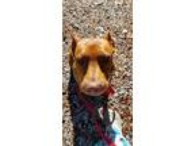 Adopt Millie a Red/Golden/Orange/Chestnut Boxer / Doberman Pinscher / Mixed dog