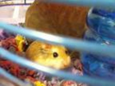 Adopt a Tan or Beige Hamster / Mixed small animal in Charlotte, NC (25824703)