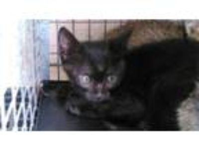 Adopt A2026784 a Domestic Short Hair