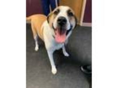 Adopt Stella a Tan/Yellow/Fawn Great Pyrenees / Boxer / Mixed dog in Glenville