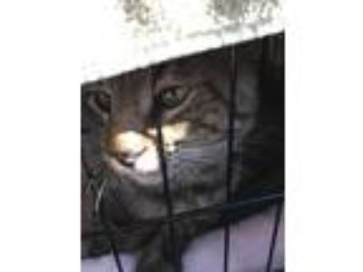 Adopt Mr. Fuzzy a Tiger Striped Domestic Shorthair / Mixed cat in Northridge