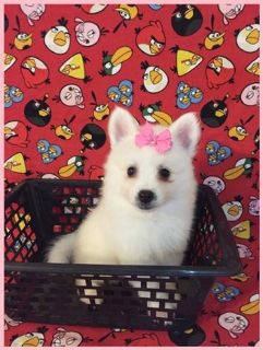 CKC Mini American Eskimo Puppies