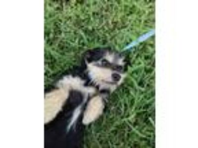 Adopt Earl Gray a Black - with White Miniature Schnauzer dog in Moorestown