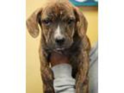 Adopt Lucy a Brindle Boxer / Shepherd (Unknown Type) / Mixed dog in