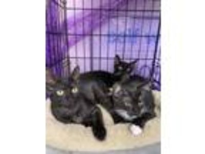 Adopt Sam a Black (Mostly) Domestic Shorthair / Mixed cat in Dallas
