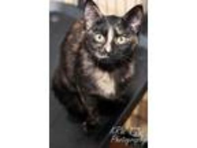 Adopt Chicken Tortilla a All Black Domestic Shorthair / Domestic Shorthair /