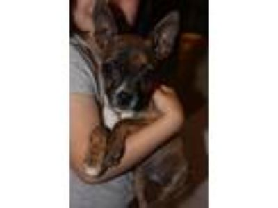 Adopt Peanut a Boston Terrier, Miniature Pinscher