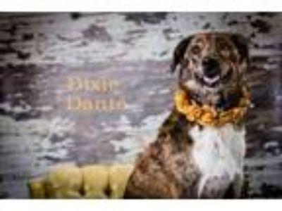Adopt Dixie Dante a Australian Shepherd
