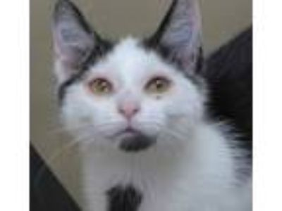 Adopt Foster Sissy a Black & White or Tuxedo Domestic Shorthair / Mixed (short