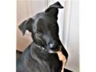 Adopt JAKE a Labrador Retriever, Border Collie