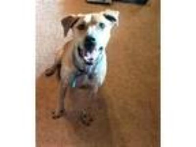 Adopt Bear Phillips a Tan/Yellow/Fawn - with Black Hound (Unknown Type) /