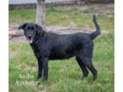 Adopt SASHA a Black Labrador Retriever / Mixed dog in Conroe, TX (25233757)