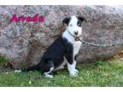 Border Collie - Dogs for Adoption Classifieds in Oswego