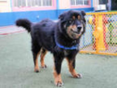 Adopt JIM a Black - with Tan, Yellow or Fawn Chow Chow / Border Collie / Mixed