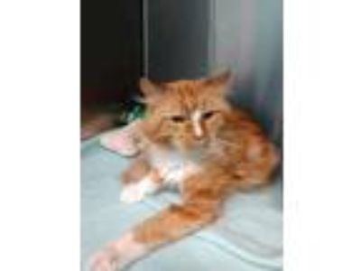 Adopt Bradley a Orange or Red Domestic Longhair / Domestic Shorthair / Mixed cat