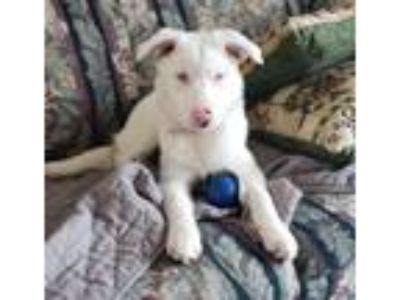 Adopt Macy a White Australian Shepherd / Mixed dog in Minneapolis, MN (24769569)