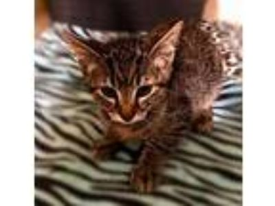 Adopt Go Fish a Brown or Chocolate Domestic Shorthair / Domestic Shorthair /