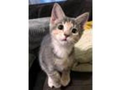 Adopt Lullaby a Calico or Dilute Calico Domestic Shorthair (short coat) cat in