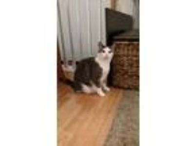 Adopt Mr Kitty a Black & White or Tuxedo Domestic Shorthair / Mixed cat in East