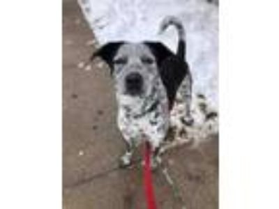 Adopt Kennedy a Black Australian Cattle Dog / Mixed dog in South Abington