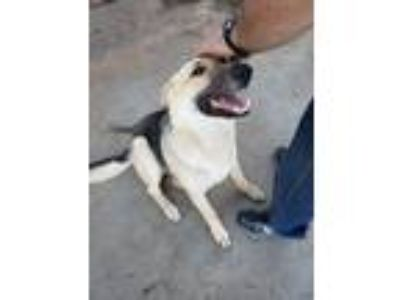 Adopt Athena a Black - with Gray or Silver German Shepherd Dog dog in Fritch