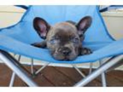 AKC Blue French Bulldog Boy