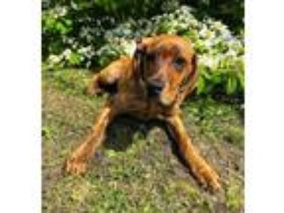 Adopt Maeve a Brindle Hound (Unknown Type) / Mixed dog in Dartmouth