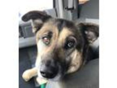 Adopt Tate a Brown/Chocolate - with Tan Shepherd (Unknown Type) / Mixed dog in