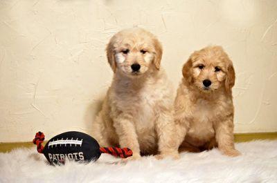 Goldendoodle PUPPY FOR SALE ADN-63741 - Standard Goldendoodle Pups