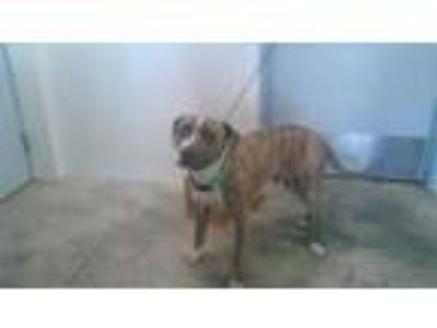 Adopt a Brindle - with White American Staffordshire Terrier / Mixed dog in Fort