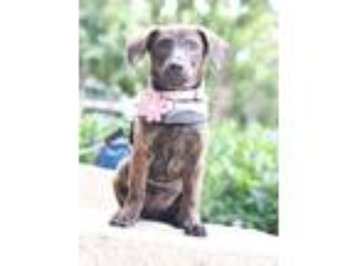 Adopt audrey a Brindle Dachshund / Mixed dog in Castro Valley, CA (25596708)