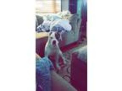Adopt Rafiki a White - with Brown or Chocolate American Pit Bull Terrier / Mixed