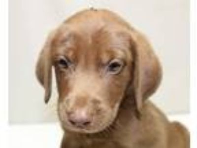 Adopt Ralph a Brown/Chocolate - with White Labrador Retriever / Mixed dog in