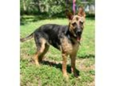 Adopt MERCY a Brown/Chocolate - with Tan German Shepherd Dog / Mixed dog in
