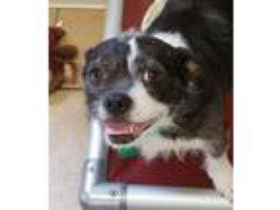 Adopt Laverne a Black - with White Boston Terrier / Mixed dog in Independence