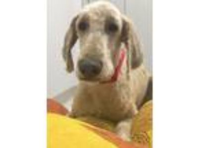 Adopt Casper a Tan/Yellow/Fawn Goldendoodle / Mixed dog in Mechanicsburg
