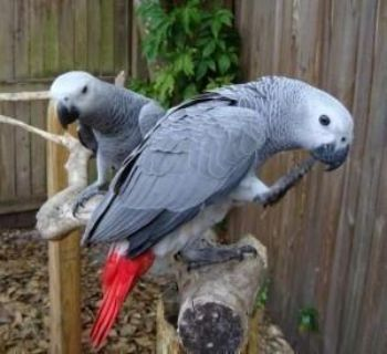 I HAVE TALKATIVE MALES AND FEMALES AFRICAN GREY PARROTS AVAILABLE