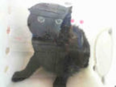 Adopt FAT CAT a All Black Domestic Shorthair / Mixed (short coat) cat in Dallas