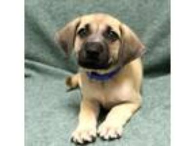 Adopt Timon a Labrador Retriever, Mixed Breed