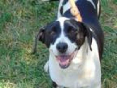 Adopt OREO a White - with Black Beagle / Mixed dog in Charlotte, NC (25899432)