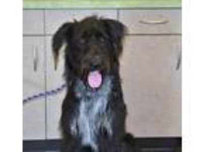 Adopt Found stray: Cooper a Black Poodle (Standard) / Irish Wolfhound / Mixed