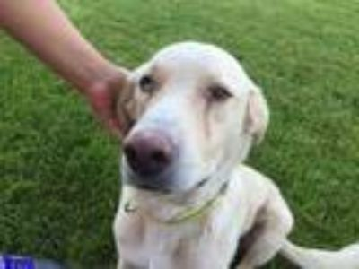 Adopt Buddy a White Labrador Retriever / Mixed dog in Las Cruces, NM (18680937)