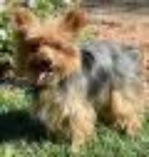 Louie Yorkshire Terrier Yorkie Dog