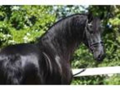 4th Level 10 Pts in Z2 Schoolmaster Reasonably Priced Friesian for Sale