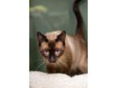 Adopt Stanley a Siamese